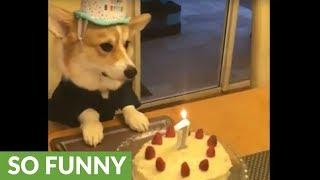 Corgi celebrates 1st birthday in style