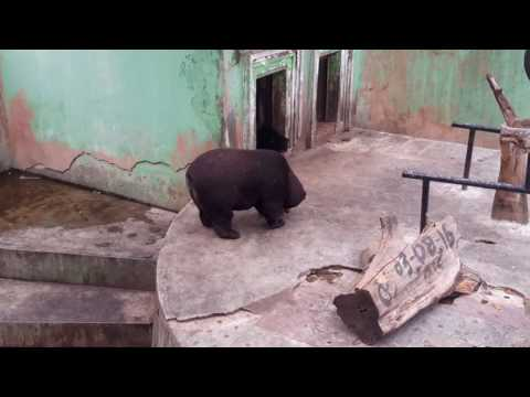 Bear at Bukittinggi Zoo appear very obese, indicative of a wholly inappropriate and unnatural diet