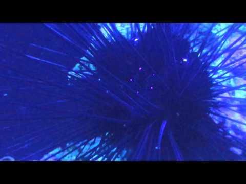 One eye sea urchin contracts marine urchin