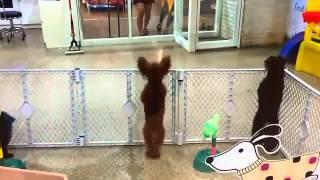 Собака танцует. Поднимает настроение! Класс!