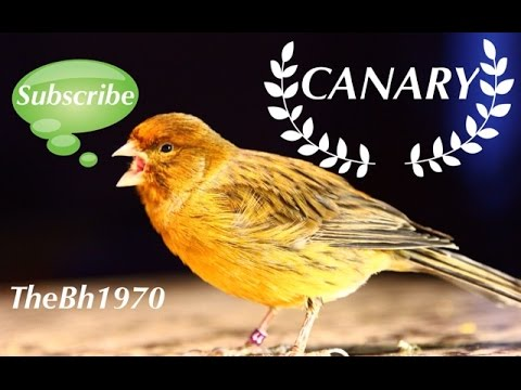 Canary singing best idea how to make canaries happy to sing