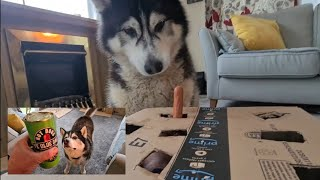 Husky goes Crazy for Sausage in a Box! Funniest video you'll Watch Today