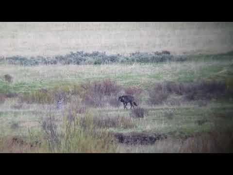 Yellowstone Park - Black Wolf in the Lamar Valley