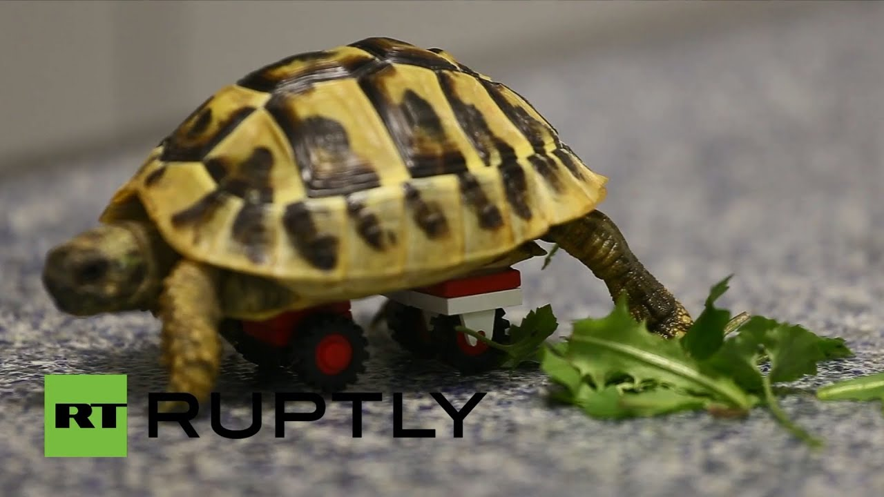 Germany This Turtle Moves With LEGO Wheelchair YouTube - Injured tortoise gets set lego wheels help move