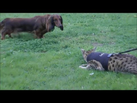 Savannah Cat VS Dog