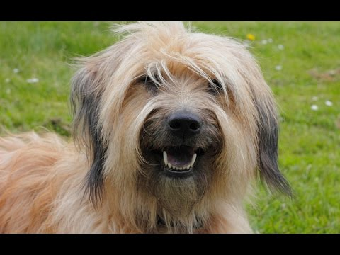 Catalan Sheepdog / Dog Breed