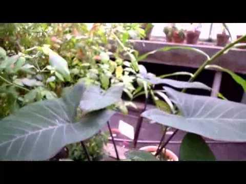 Le Taro (Colocasia esculenta)