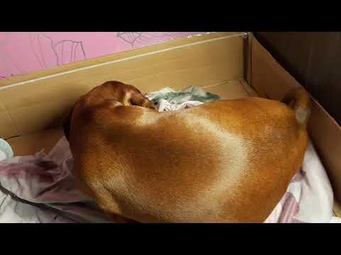 Начало родов у собаки, признаки родов, советы. Есть 2 часть смотрите мои видео.