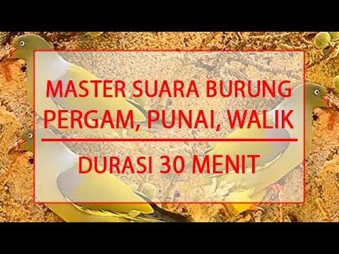 MASTER SUARA BURUNG PERGAM, WALIK, PUNAI - DURASI 30 MENIT