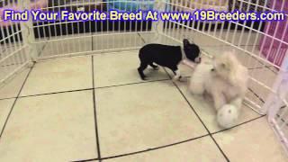 Boston Terrier, Puppies, For, Sale, In, Boise City, Idaho, Id, Rexburg, Post Falls, Lewiston, Twin F