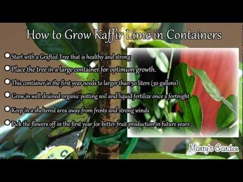 How To Grow Kaffir Lime Trees In Containers
