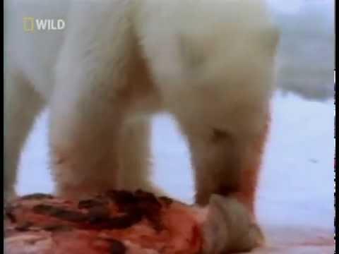 Белый медведь напал на человека