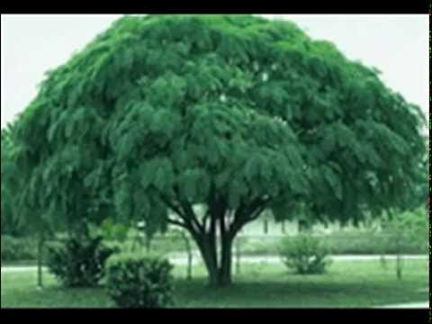 Saayadar Darakht (Shade Trees) Dr Ashraf Sahibzada