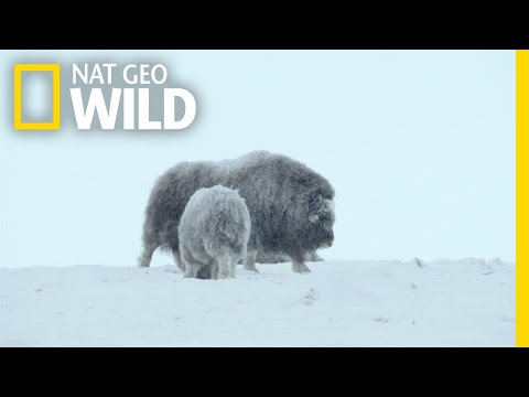 For Musk Ox