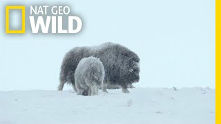 For Musk Ox in Siberia, It's a Cold Life | Wild Russia