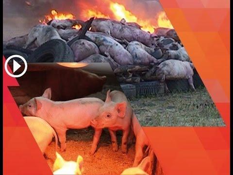 Африканская чума свиней в России