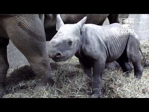 2-Day-Old Black Rhino Calf Named Kendi - Cincinnati Zoo