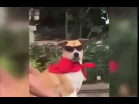Very Funny Cool & SWAG Dog with Sunglasses in Style  Bali Indonesia