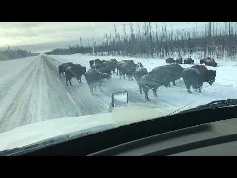 Classic Canadian Situation: A Bison 'traffic Jam'