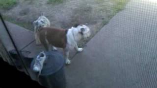 English Bulldog Picking At Our Schnauzer