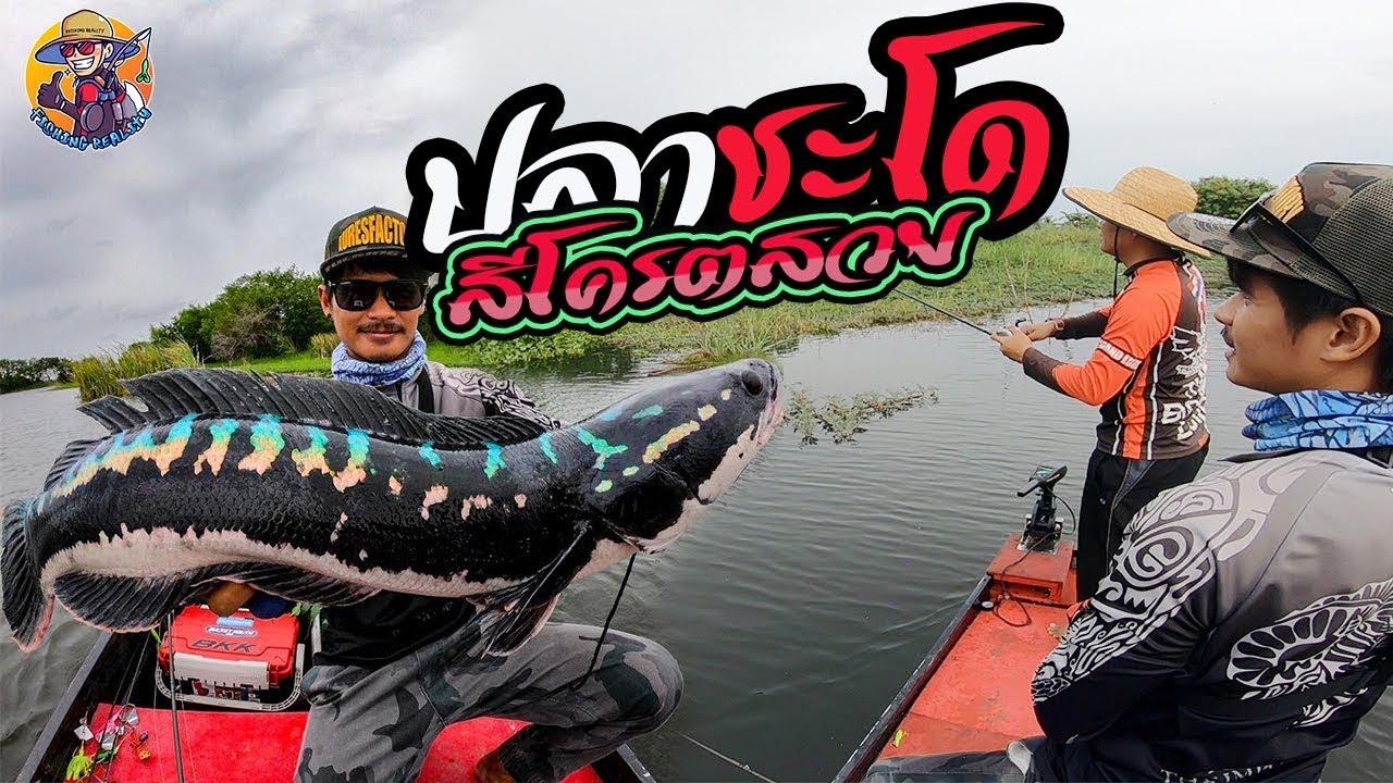ตกปลาชะโดสีโครตสวยเลย ตกปลาชะโดบ่อทรายอยุธยา fishing reality & pong posamton