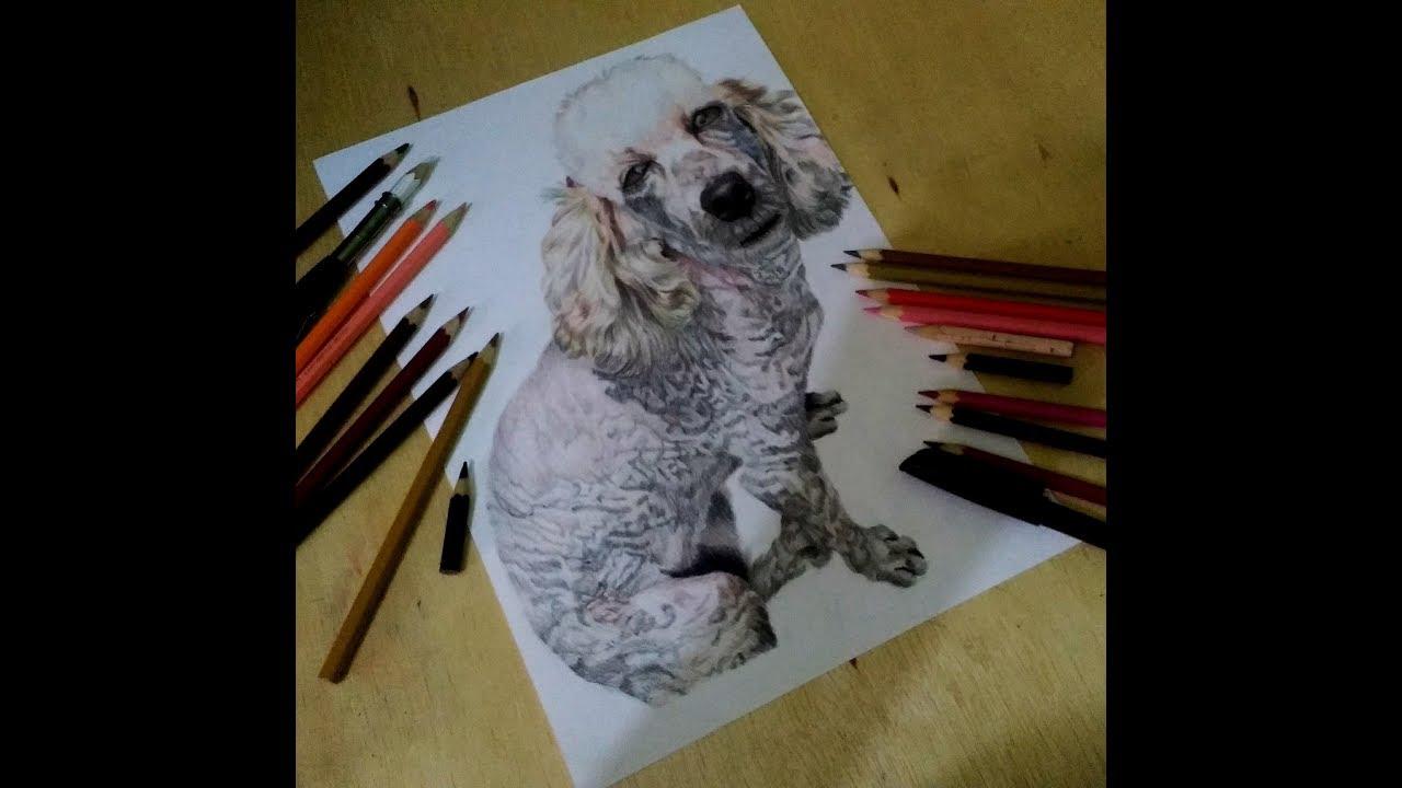 Desenhando Cachorro Poodle Realista Drawing Dog Poodle Realistic