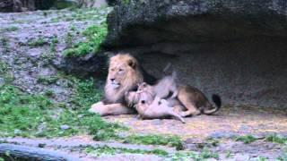 お父さんやお母さんを噛んだり乗っかったり・・・やんちゃなライオンの...