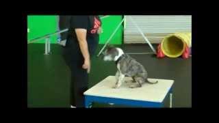 Pippy, An Adoptable Boston Terrier/ Boxer Mix In Las Vegas, Nevada