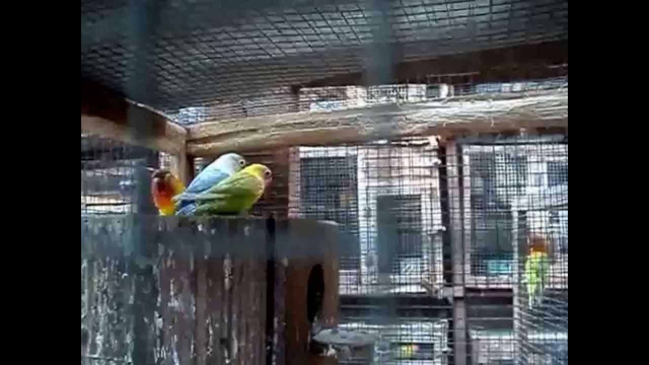 Burung Love Bird Cara Praktis Ternak Burung Love Bird ...
