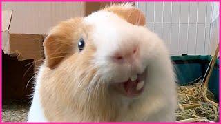 Best guinea pig noises of the wheek! (2021 Week 29)