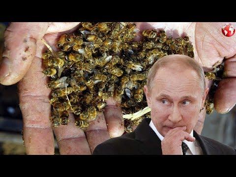 Массовая гибель пчёл в России