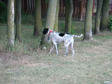German wirehaired pointer hunting a squirrel