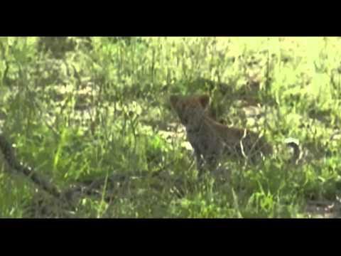Karula Calls Her Cubs to a Sighting  April 9,  2016