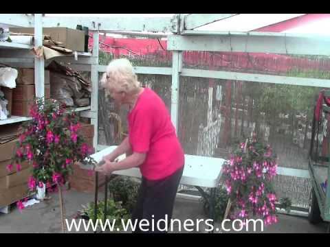 Part 3 - Edit - Cutting back your Fuchsia plants