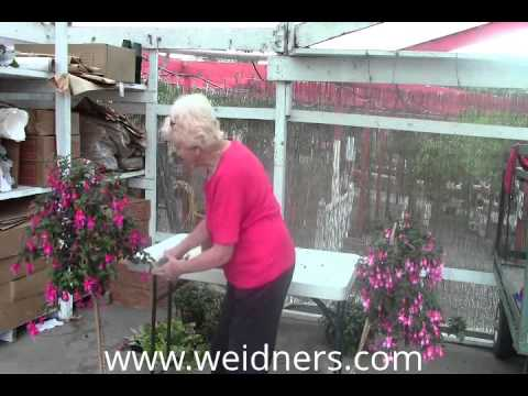 Part 3 - Edit - Cutting back your Fuchsia plants