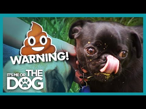 Poop Eating Pugs Take Recycling Too Far! | It's Me Or The Dog