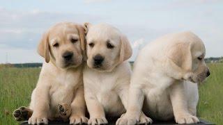 розплідник купити собаку лабрадора україна ціни недорого BrilLion Club