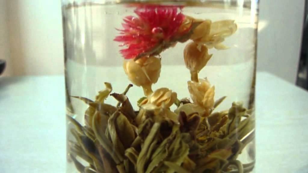 vidéo éclosion d'une fleur de thé vert hommage à rimbaud - youtube