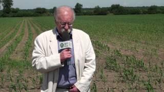 Ostatni dzwonek na herbicydy w kukurydzy! Czym jeszcze można pryskać?