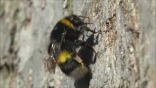 White tailed Bumble Bee Bombus lucorum sensu lato grooming