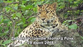 Дальневосточный леопард Рона 28 июня 2018 г.
