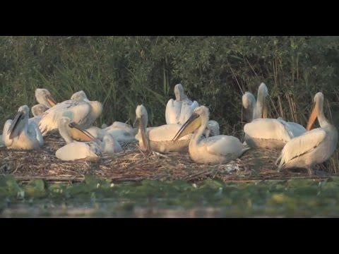 Saving the huge Dalmatian Pelicans of Skadar Lake