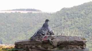 Deux pigeons s'aimaient d'amour tendre ... au château de Bourscheid (LU)