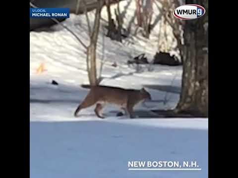 Video: Bobcat seen prowling through New Boston yard