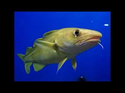 Cod Facts  Interesting Facts About Cod