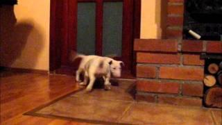 """Pui Bull Terrier De Vanzare """"madjoker Kennel"""""""