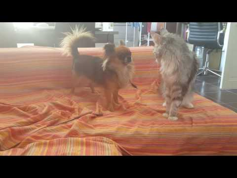 Dog chihuahua vs cat Maine coon