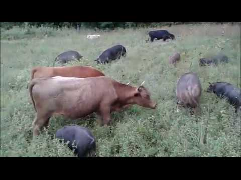hqdefault Farrowing House Design In The Philippines on farrow house designs, farmhouse house designs, machine shed designs, hen house designs, pig housing designs, hog building designs, pig pen designs, chicken house designs, small stone house designs, barn designs,