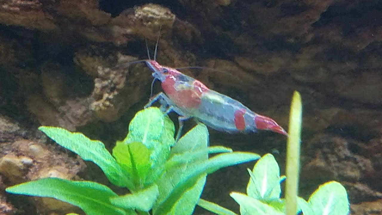 How Shrimp Change Colors - How Neocaridina & Red Cherry Shrimp Can ...