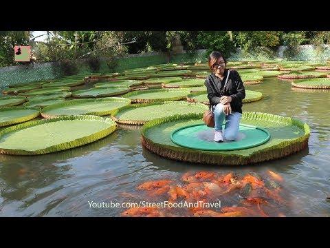 Vietnam Travel Amazing Giant Lotus Leaf In Mekong Delta ( Chua La Sen )